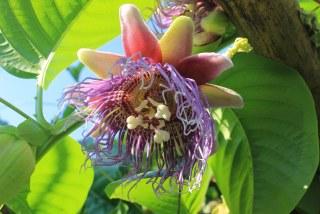 パッションフルーツに使う有機肥料はどんな肥料がいいですか?