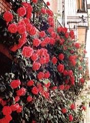 見事なバラが咲きました