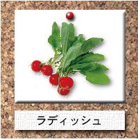 野菜-ラディッシュ