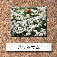花-アリッサム