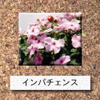 花-インパチェンス