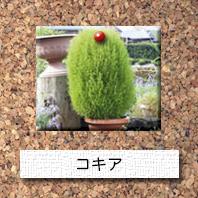 花-コキア