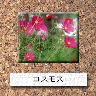 花-コスモス