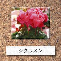 花-シクラメン