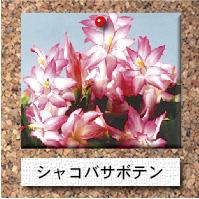 花-シャコバサボテン