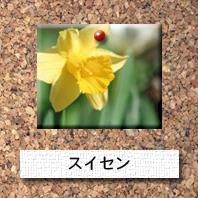 花-スイセン