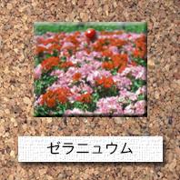 花-ゼラニュウム