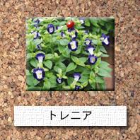 花-トレニア