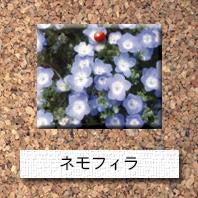 花-ネモフィラ