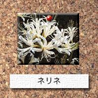 花-ネリネ