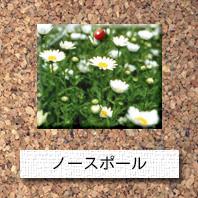 花-ノースポール