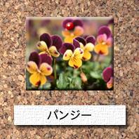 花-パンジー