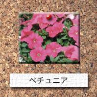 花-ペチュニア
