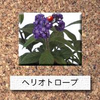 花-ヘリオトロープ
