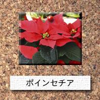 花-ポインセチア