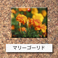 花-マリーゴールド