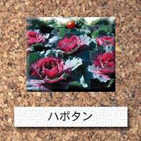 花-葉ボタン