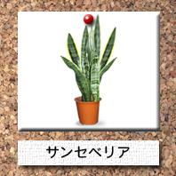 観葉植物-サンセベリア