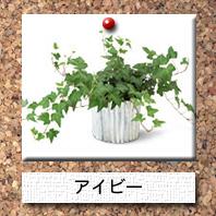 観葉植物-アイビー