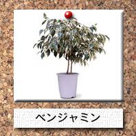 観葉植物-ベンジャミン
